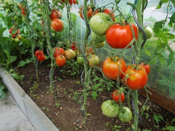 Выращивание томатов сорта Камея