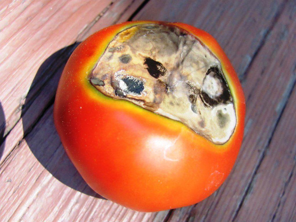 Белая гниль у плода томата
