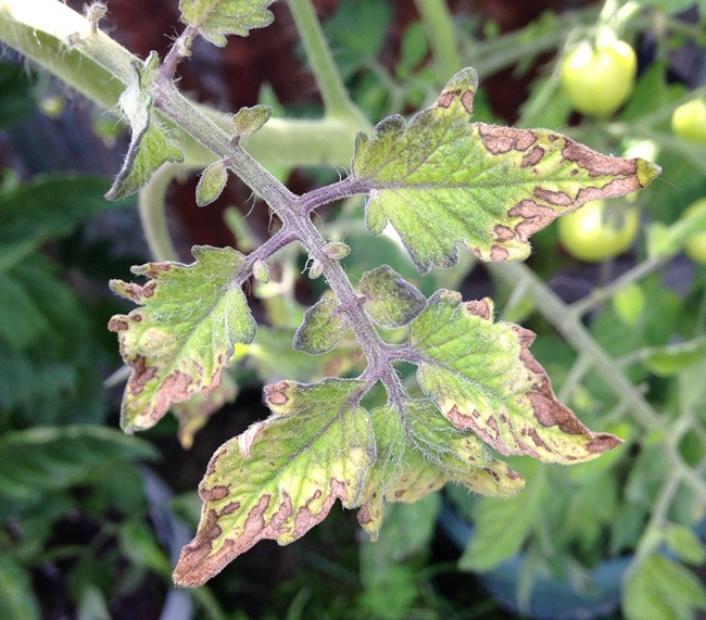 Засохшие листья томатов