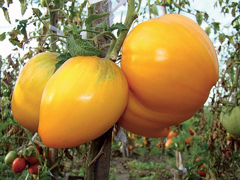 Плоды томата на кусте