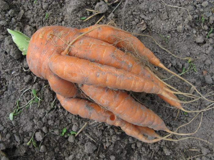 Рогатая и корявая морковь на огороде