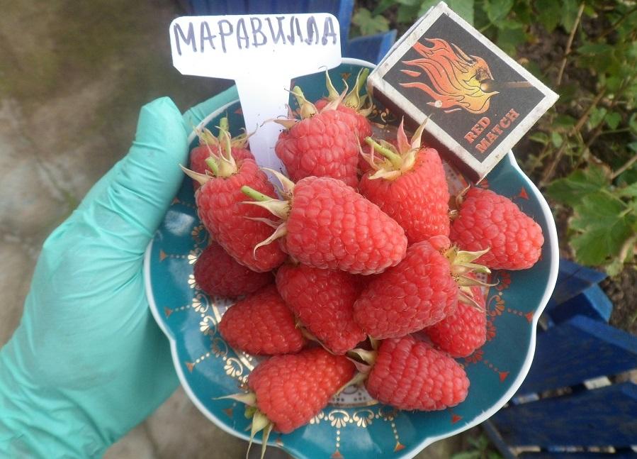 Ягоды малины Маравилла