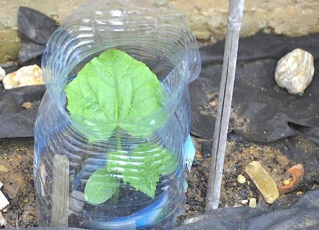 Выращивание огурцов в бутылках на приусадебном участке