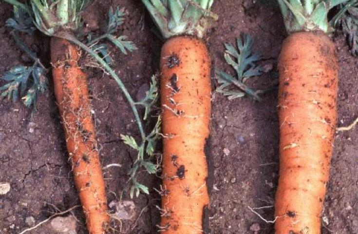 Бурая пятнистость моркови