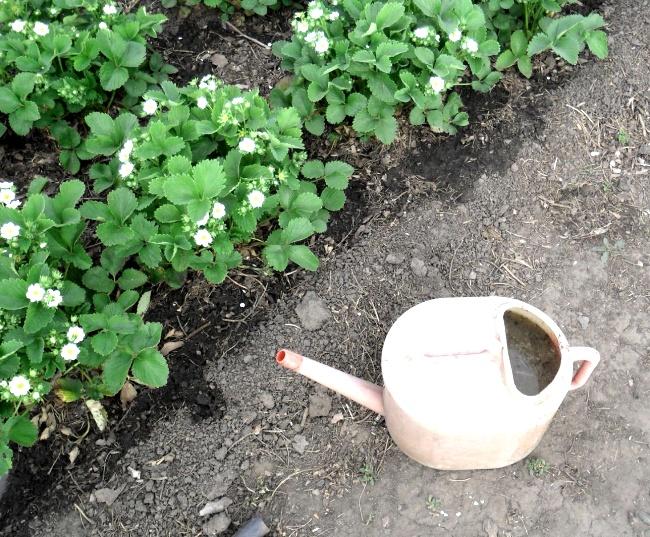 Полив клубники весной
