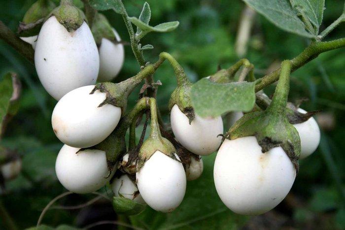 Белые баклажаны на ветке