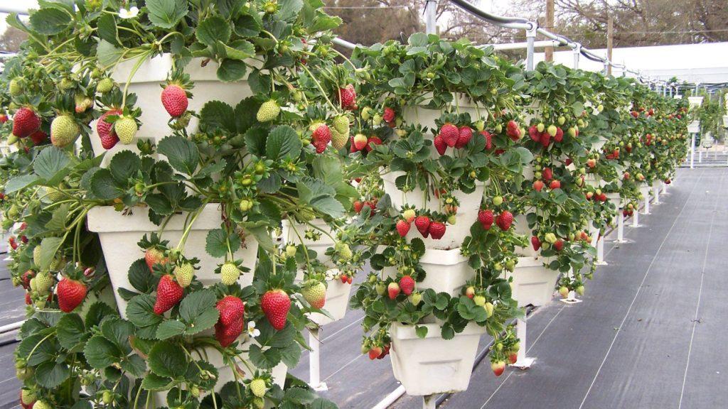 Гидропоника - метод выращивания ягод