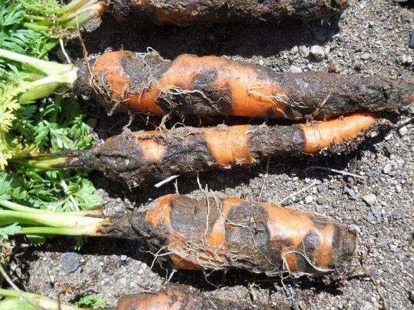 Черная гниль у моркови
