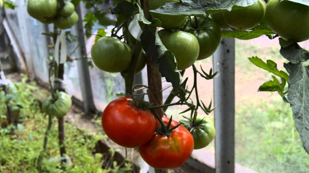 Крупные плоды томатов на ветке