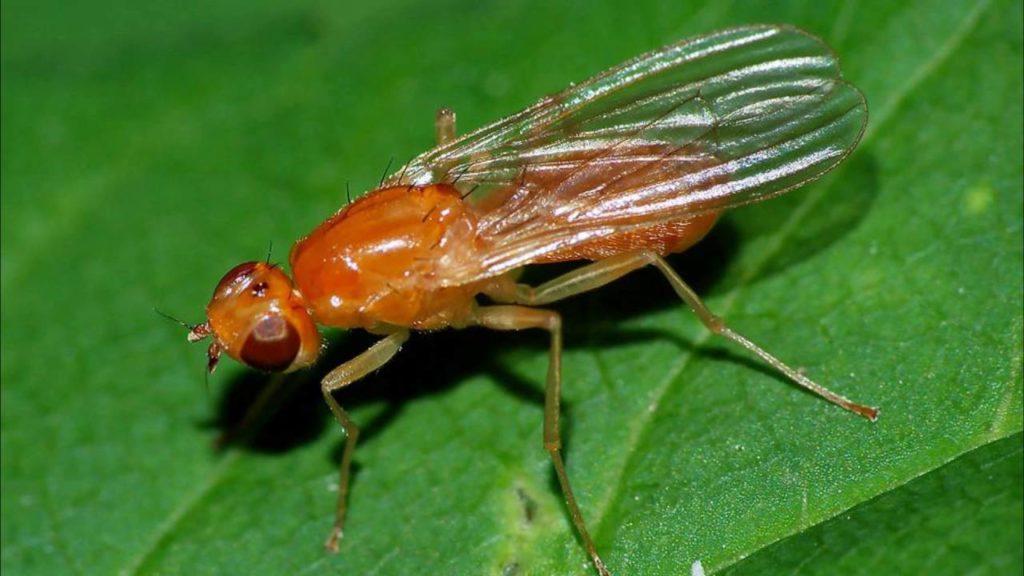 Внешний вид морковной мухи