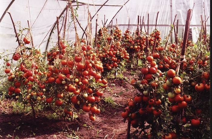 Выращивание томатов по методу Маслова