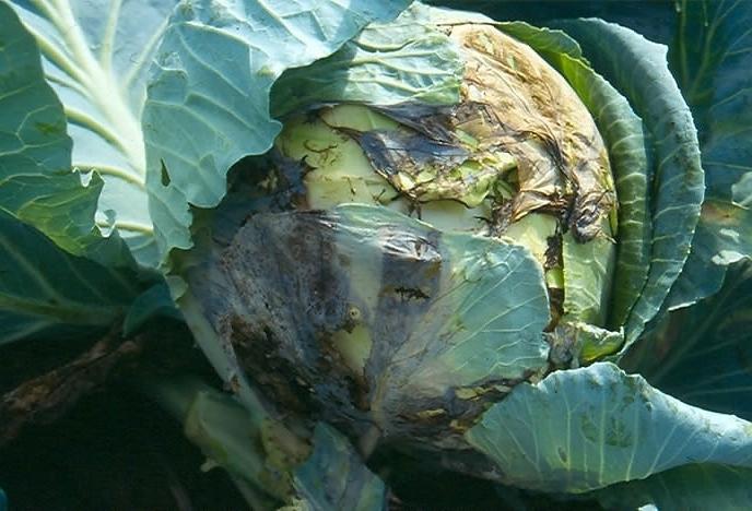 Гниль на корне капусты