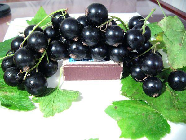 У черной смородины пигмей крупные плоды