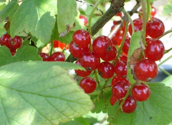 При выращивании вблизи водного бака куст редеет и формирует мало ягод