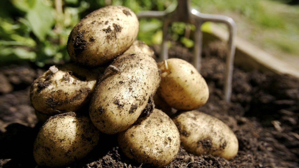 Свежевыкопанная картошка на огороде