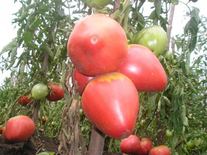 Большие и крупные плоды томатов