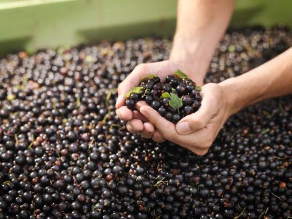 Хороший урожай смородины