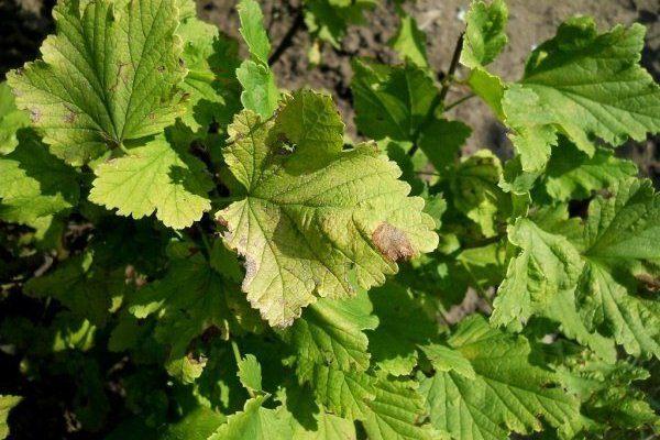 Белая пятнистость на листе смородины