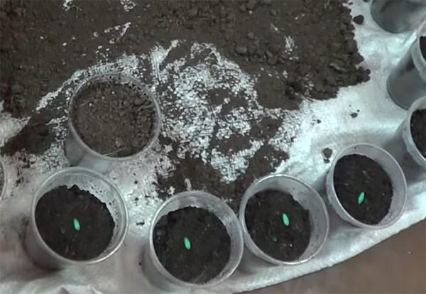 Для семян смородины можно использовать горшочки, как для огурцов