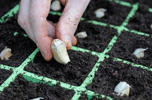 После посадки чеснок нужно подкармливать удобрениями