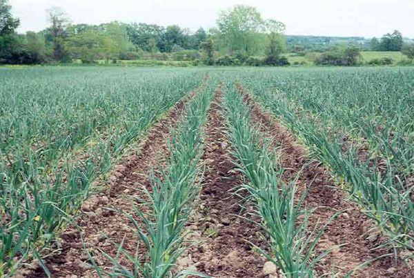 Сбор урожая обычно начинают в июне