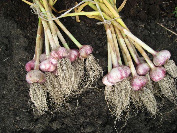После чеснока можно садить не все растения