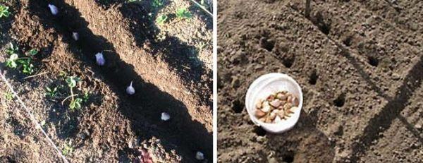 Озимый чеснок можно сажать и весной