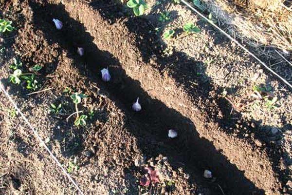 Место посадки играет большую роль для чеснока