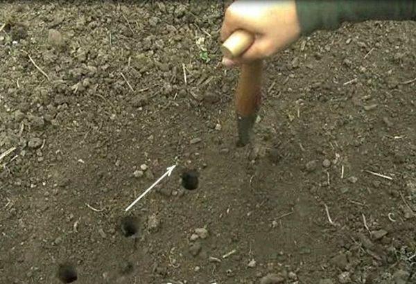 Высадка посадочного материала осуществляется в борозды