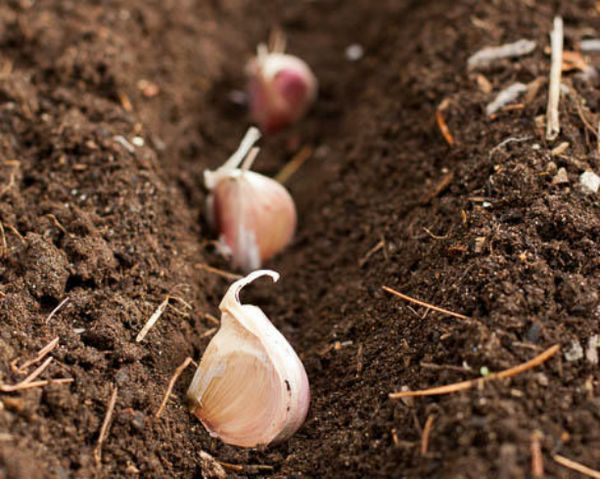 Сажать чеснок нужно в подготовленную почву