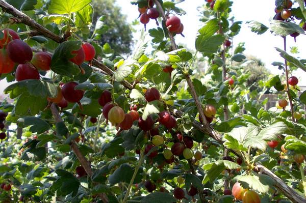 Созревающие ягоды йошта на ветке
