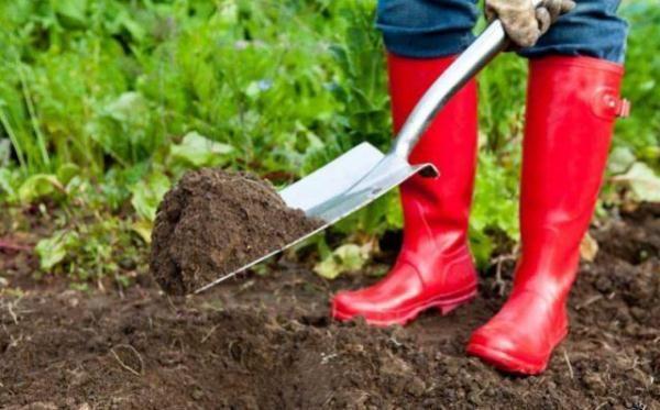 Внесение удобрений под куст смородины