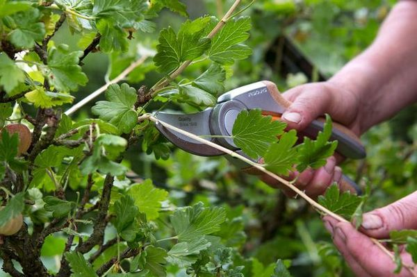 Обрезка куста - основа хорошей урожайности