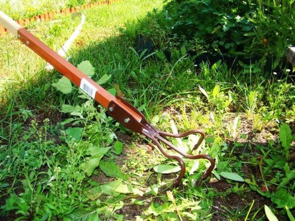 Не стоит забывать убирать сорняки вокруг куста
