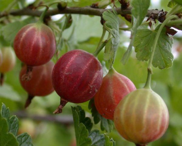 Крыжовник хорошо растет в богатой полезными веществами земле