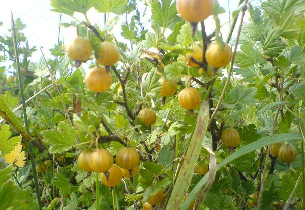 Сорт медовый считается урожайным