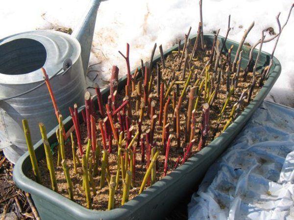 Размножение крыжовника комбинированными черенками