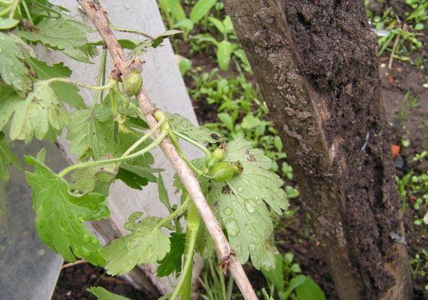 Крыжовник Сенатор – неприхотливое растение