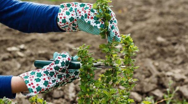 Места срезов обрабатывают садовым варом
