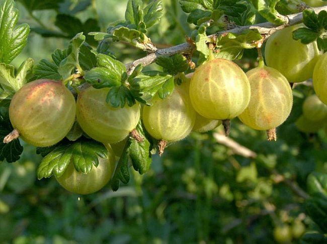 Популярный вид растения - Родник