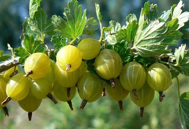 Популярный вид растения - Юбилейный