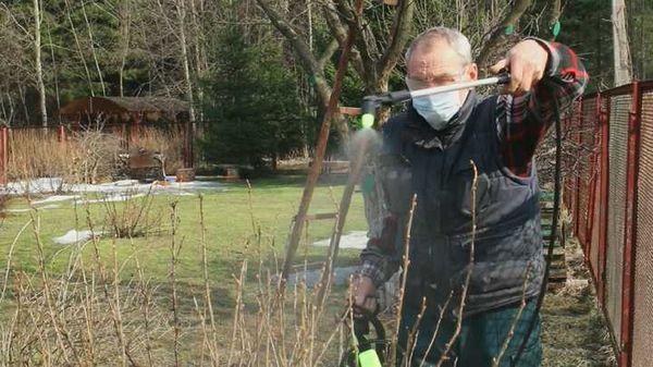 Некоторые садоводы опрыскивают крыжовник кипятком