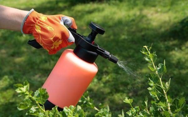 Крыжовник требует профилактики от болезней и вредителей
