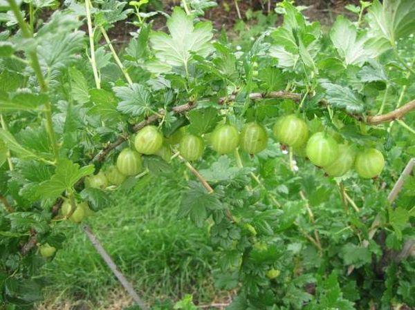 Сорт крупноплодного крыжовника Уральский виноград