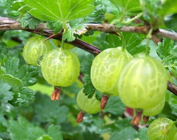 Уральский виноград любит влагу и питательные почвы