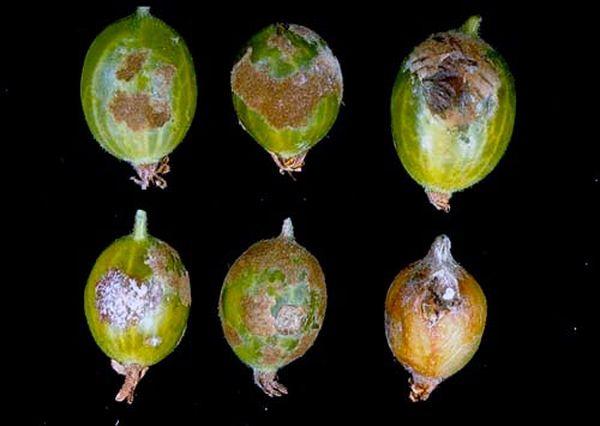 Ягоды крыжовника пораженные заболеванием