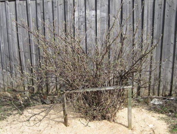Красная смородина - растение долгожитель