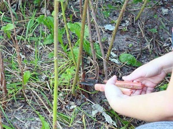 Плодоносившие ветви обрезают после сбора урожая
