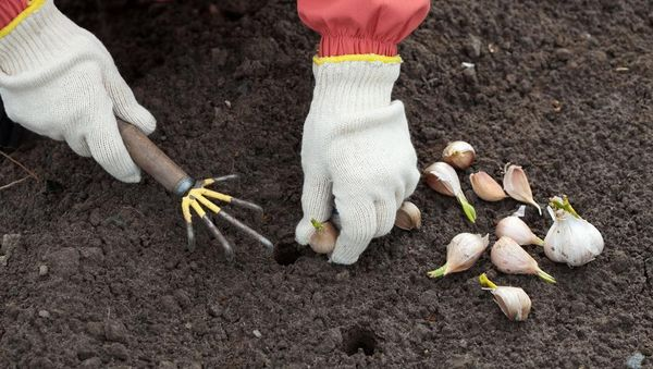 Перед посадкой нужно прорыхлить почву