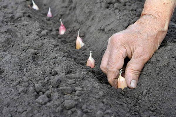 Озимый чеснок садят с конца сентября по октябрь